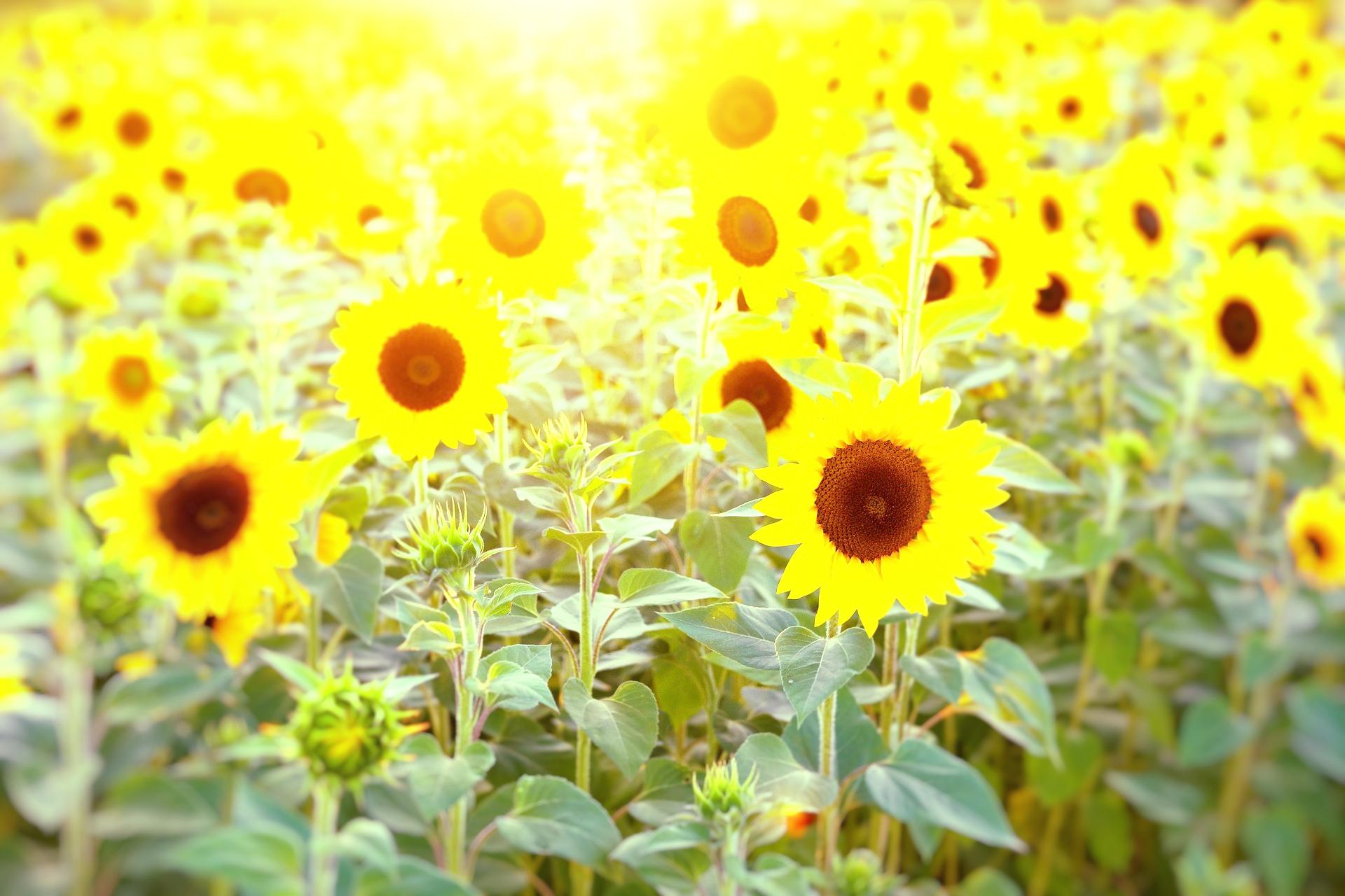 Kuvassa auringonkukkia