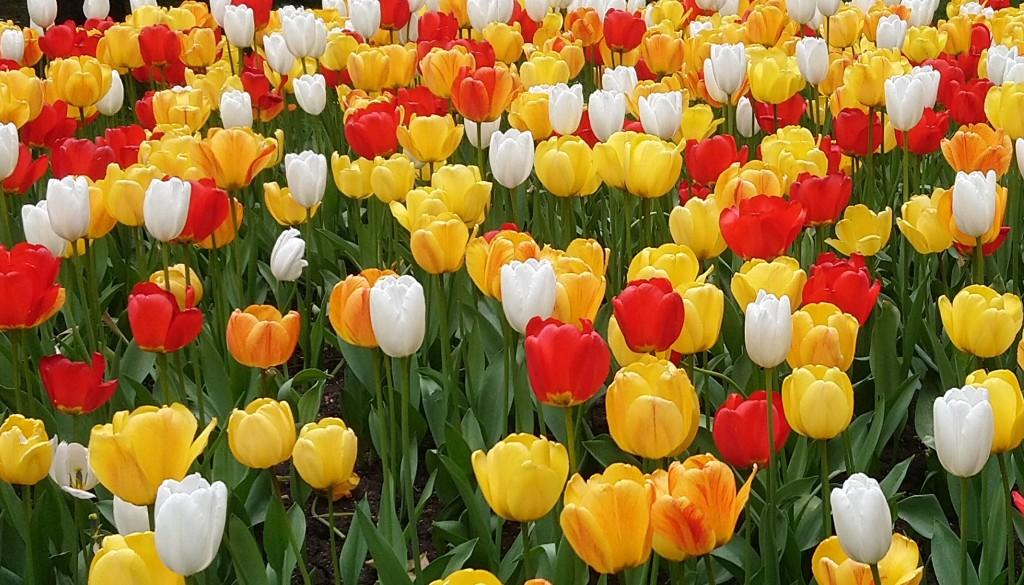keltaisia, valkoisia, punaisia tulppaaneja.