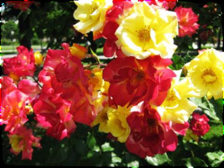 Valkoisia ja punaisia ruusuja